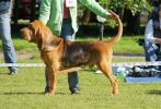 Bloodhound Young Iseb